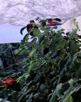 Chick_in_rosebush2_2013-05-16_at_7_32_22_PM.jpg
